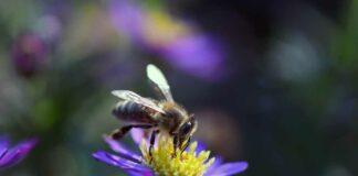 Stadtgebiet München: Amerikanische Faulbrut (Bienenseuche) festgestellt